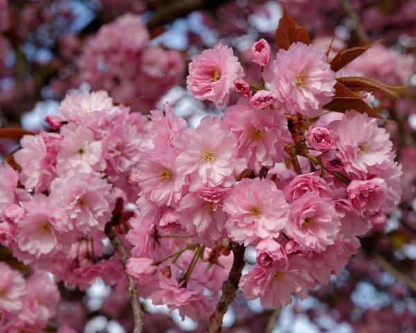 A picture of a Japanese Flowering Cherry 'Kanzan'