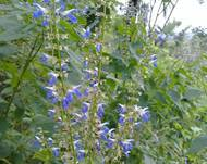 A photo of Salvia longispicata