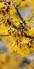 For late winter colour, look no further than Hamamelis
