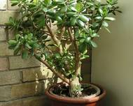 A photo of Jade Plant