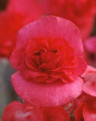 A photo of Begonia 'Doublet'