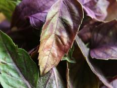 A close up of some purple leaves on a Ocimum basilicum 'Dark Opal' plant