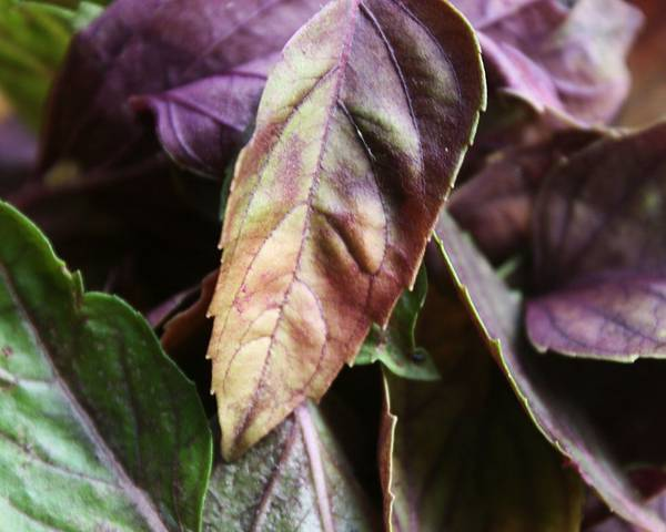 A picture of a Purple Basil