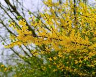 A photo of Forsythia