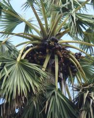 A photo of Palmyra Palm