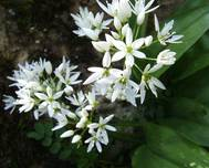 A photo of Portuguese Squill