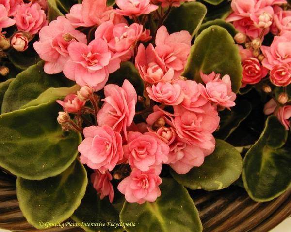 A picture of a Saintpaulia 'Rococo Pink'