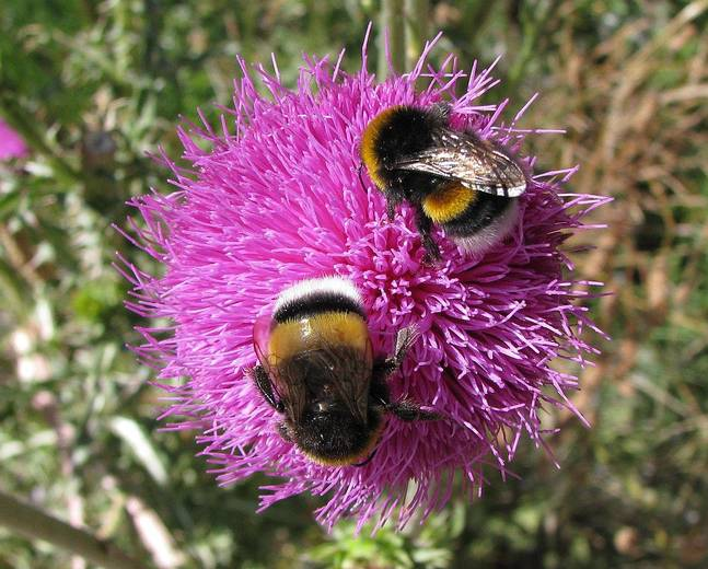 Two bees belonging to the Bombus genus on a flower