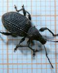 A photo of Black Vine Weevil