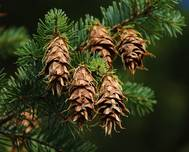 A photo of Douglas Fir