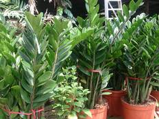 Some Zamioculcas plants in pots