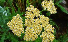 A photo of Achillea chrysocoma
