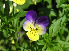 A close up of a colourful purple yellow Viola tricolor flower