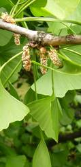 A photo of Maidenhair Tree