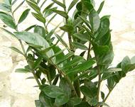 A green Zamioculcas plant in a pot