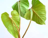 A photo of Philodendron mamei