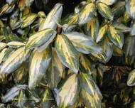 A photo of Elaeagnus pungens 'Frederici'