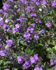 A photo of Alpine Calamint
