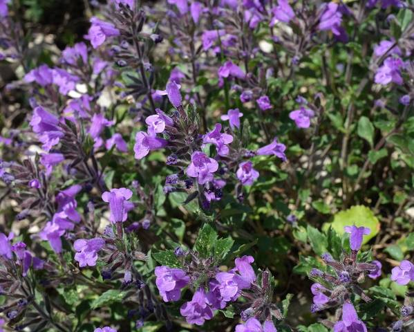 A picture of a Alpine Calamint