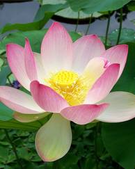 A photo of Lotus