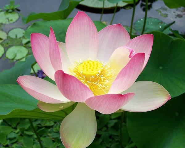 A picture of a Lotus Lily