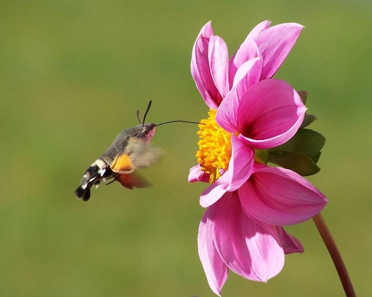 Hummingbird hawk moth hovering and feeding from a pink flower
