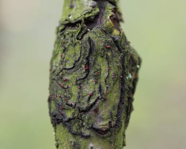 A close up of a tree infected with Apple Canker Neonectria ditissima