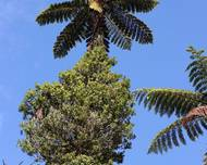 A photo of Cyathea