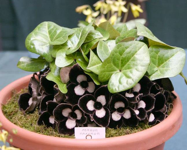 A close up of a pot of Asarum with red and white flowers and green leaves