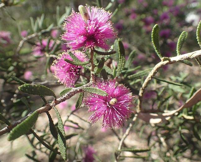 A close up of some pink flowers on a Melaleuca plant