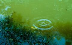 Pond Algae - Advice and Treatment