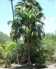 A photo of Thatch Palm