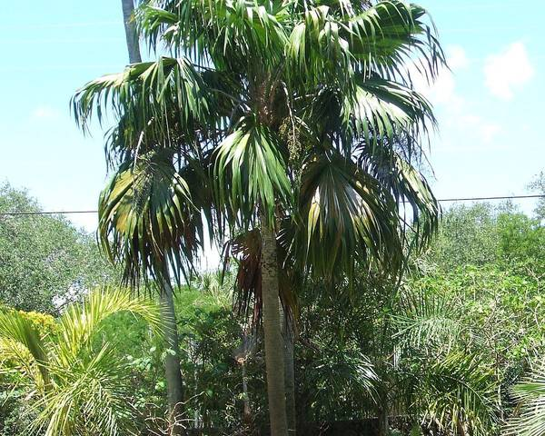 A picture of a Thatch Palm