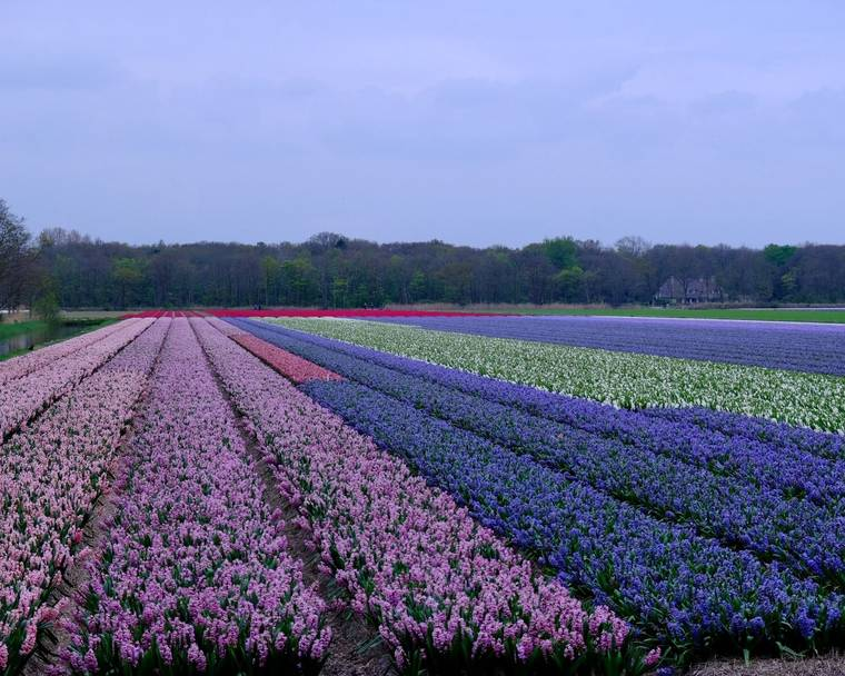Hyacinth flower bulbs in Holland