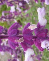 A photo of Mexican Bush Sage