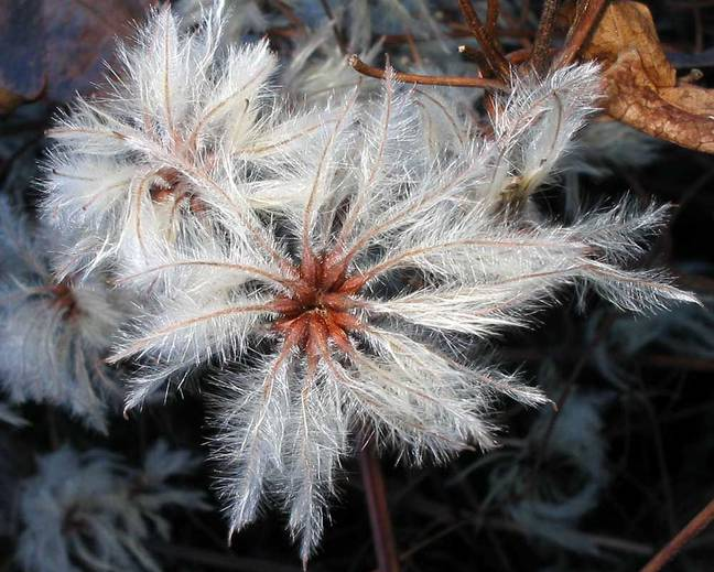 A close up of the seedhead of a Clematis species
