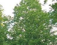 A photo of Tilia americana