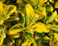 A photo of Spindle 'Emerald 'N' Gold'