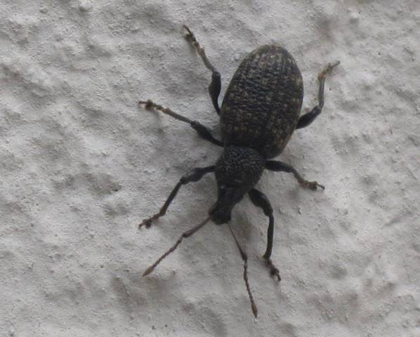A close up of a black vine weevil