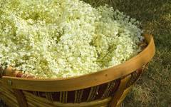 How to Make Elderflower Cordial without Citric Acid