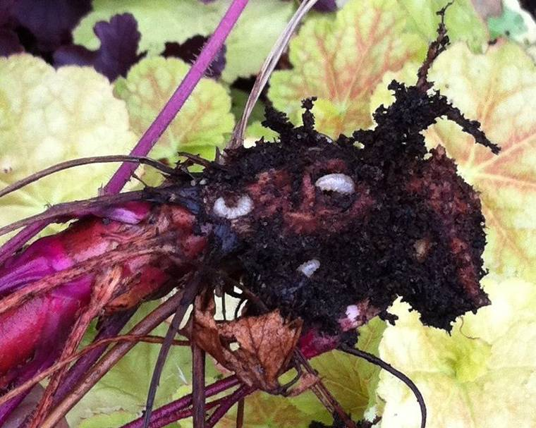 Vine weevil larvae in Heuchera roots
