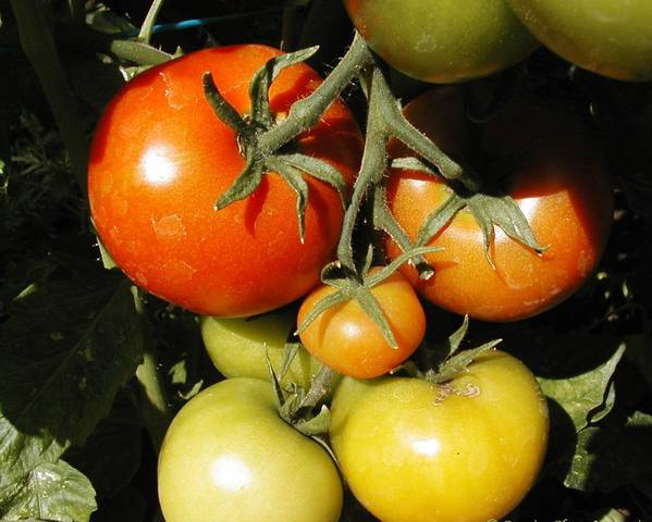 A picture of a Tomato 'The Amateur'