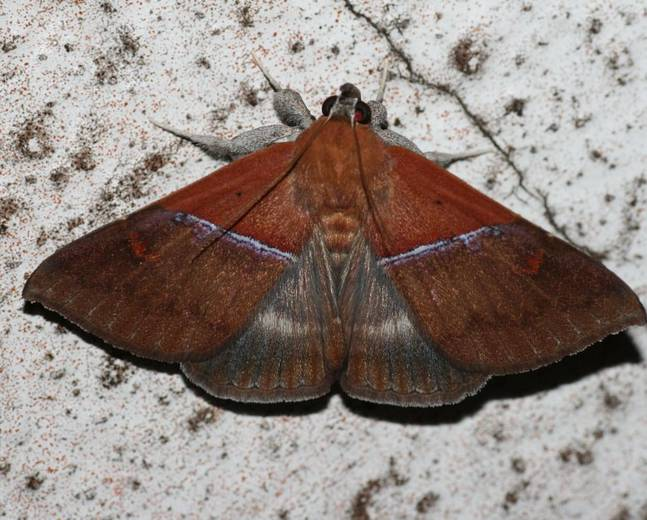 A close up picture of an owlet moth (Noctuidae)
