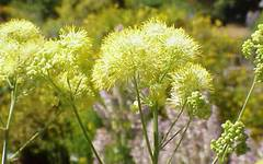 A photo of Meadow Rue