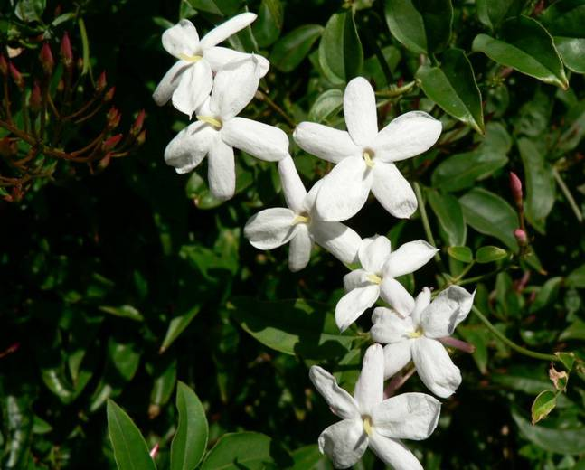 A white Jasminum flower on a plant