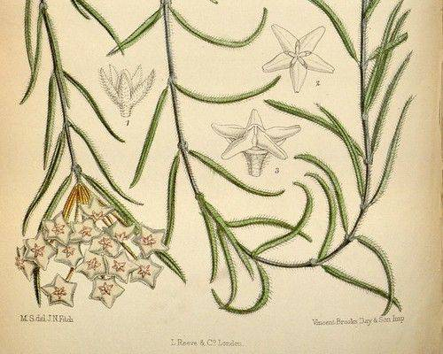 Hoya linearis Curtis Botanical Magazine vol109 1883 pl6682