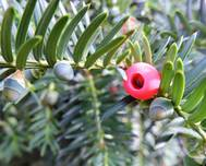 A photo of English Yew
