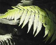 A photo of Wallich's Wood Fern