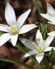 A photo of Star of Bethlehem