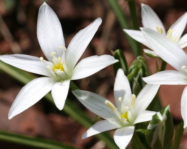 A picture of a Star of Bethlehem